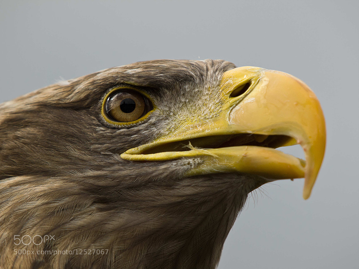 Photograph Adler by Hubertus Theile on 500px