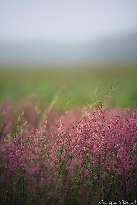 Photograph Purple Mist by Christopher O'Donnell on 500px