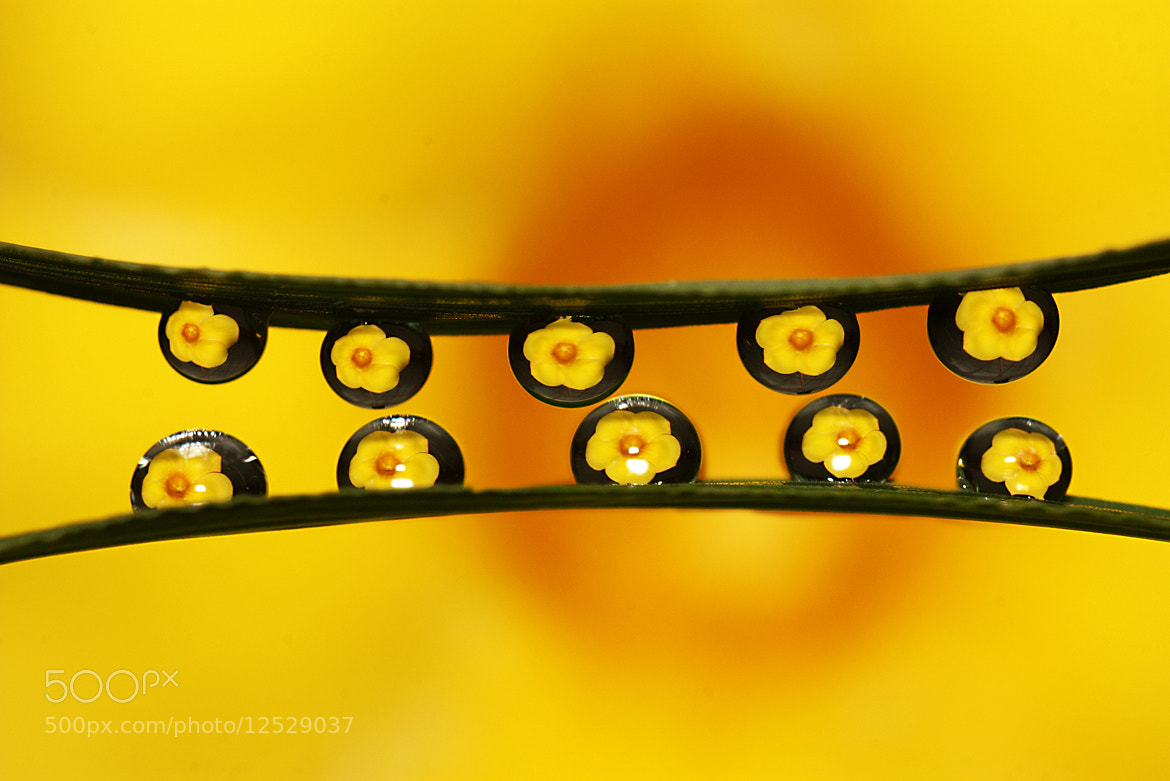 Photograph  Flower Refection in Drops by Siriwat Wongchana on 500px