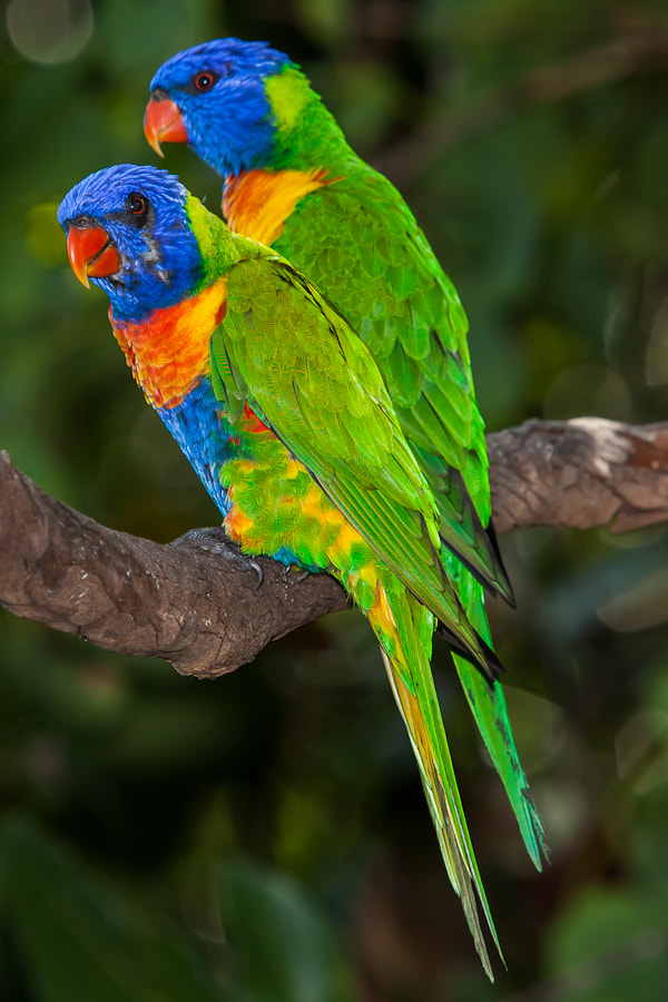 Photograph Rainbow Lorikeets visit for Breakfast by Ben Hudson on 500px