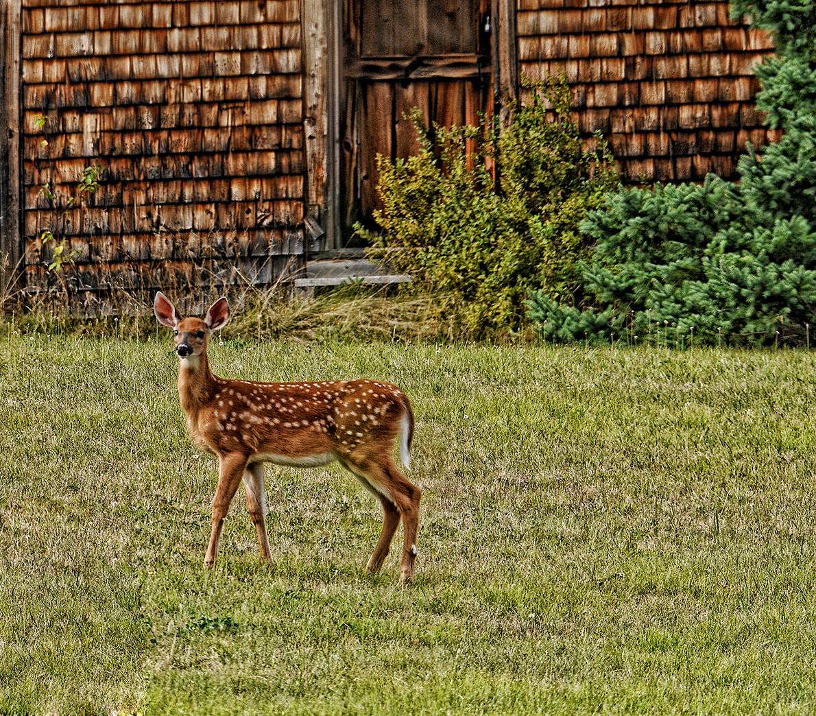 Photograph Fawn by Tammy Belanger on 500px