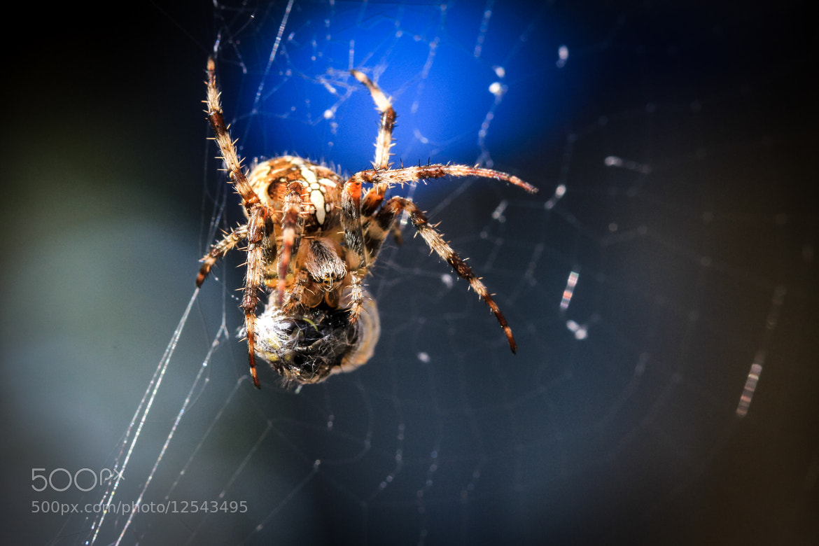 Photograph Spider Eating Bee by Jens Kristian Wikstøl on 500px