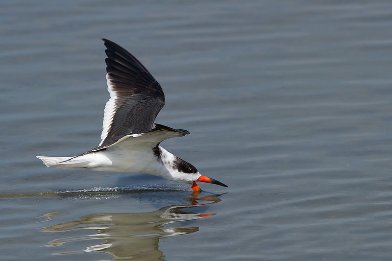 Photograph Black Skimmer by Joe Iocco on 500px