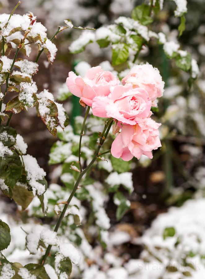 straannick - розы под снегом. Фото