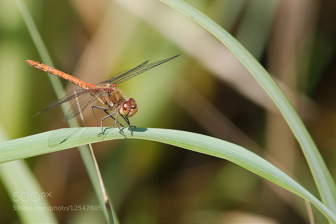 Photograph Common darter by Gerhard Müller on 500px