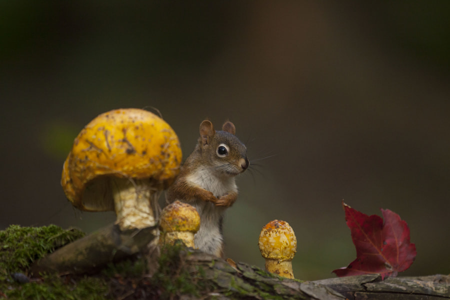 Red leaf and red squirrel by Andre Villeneuve on 500px.com