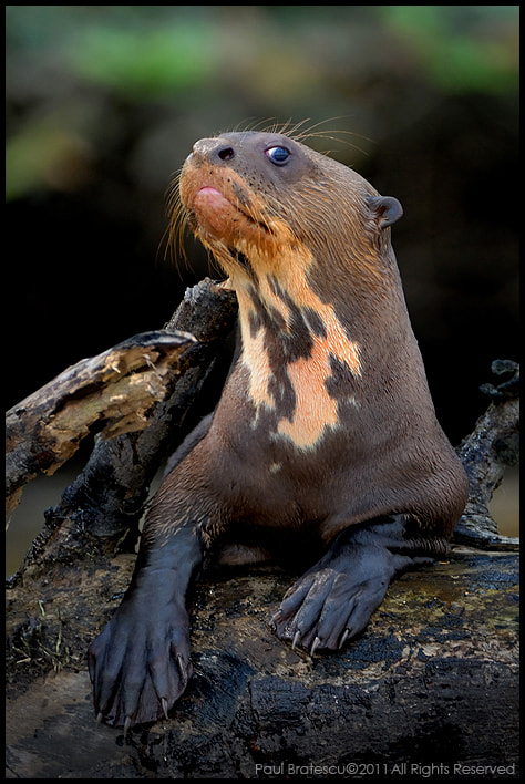 Photograph Giant River Otter by Paul Bratescu on 500px