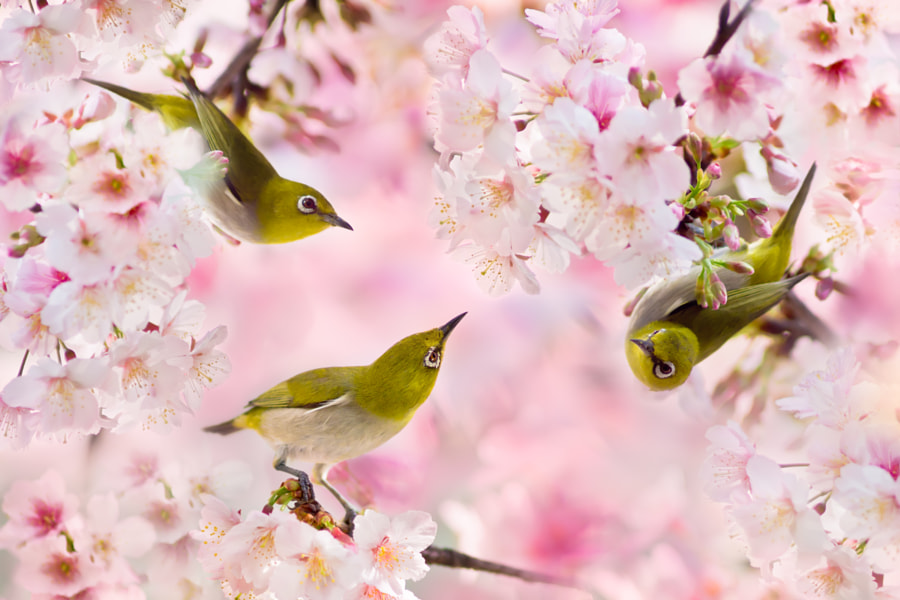 ~ We Love Cherry Blossoms ~, автор — FuYi Chen на 500px.com