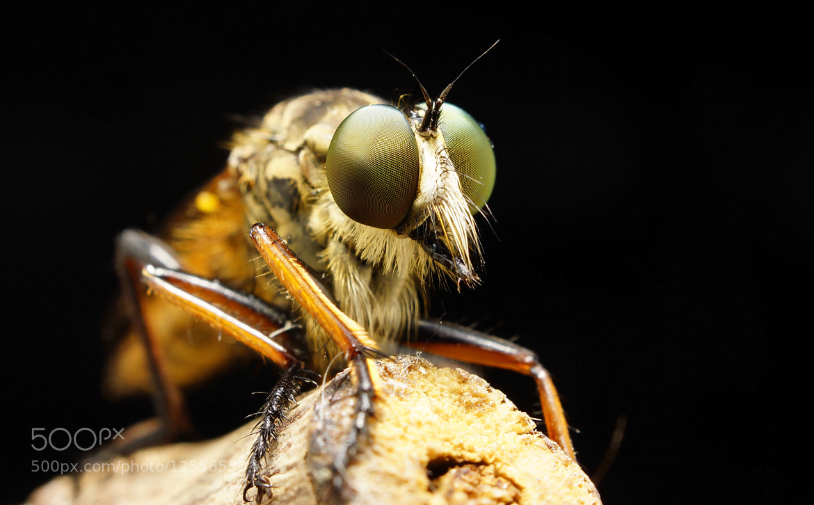 Photograph ROBBER FLY by Abgtamz Ally on 500px