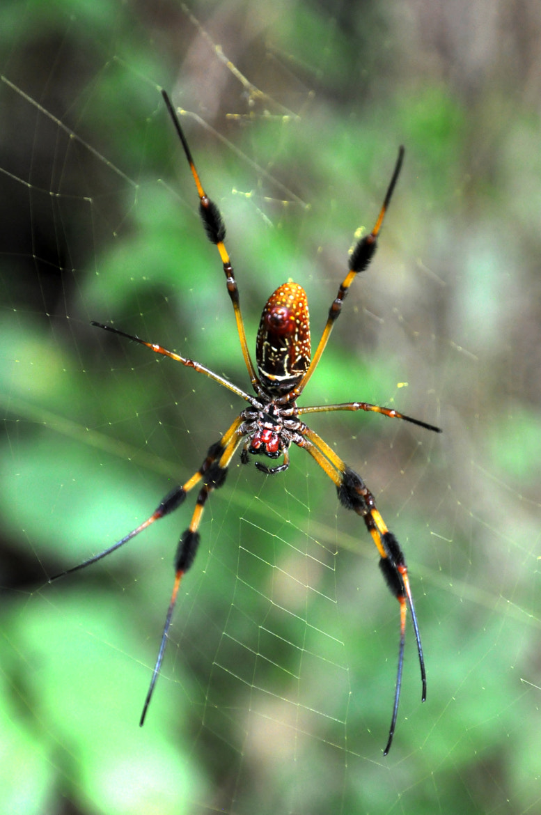 Photograph Banana spider by Arend Maatkamp on 500px