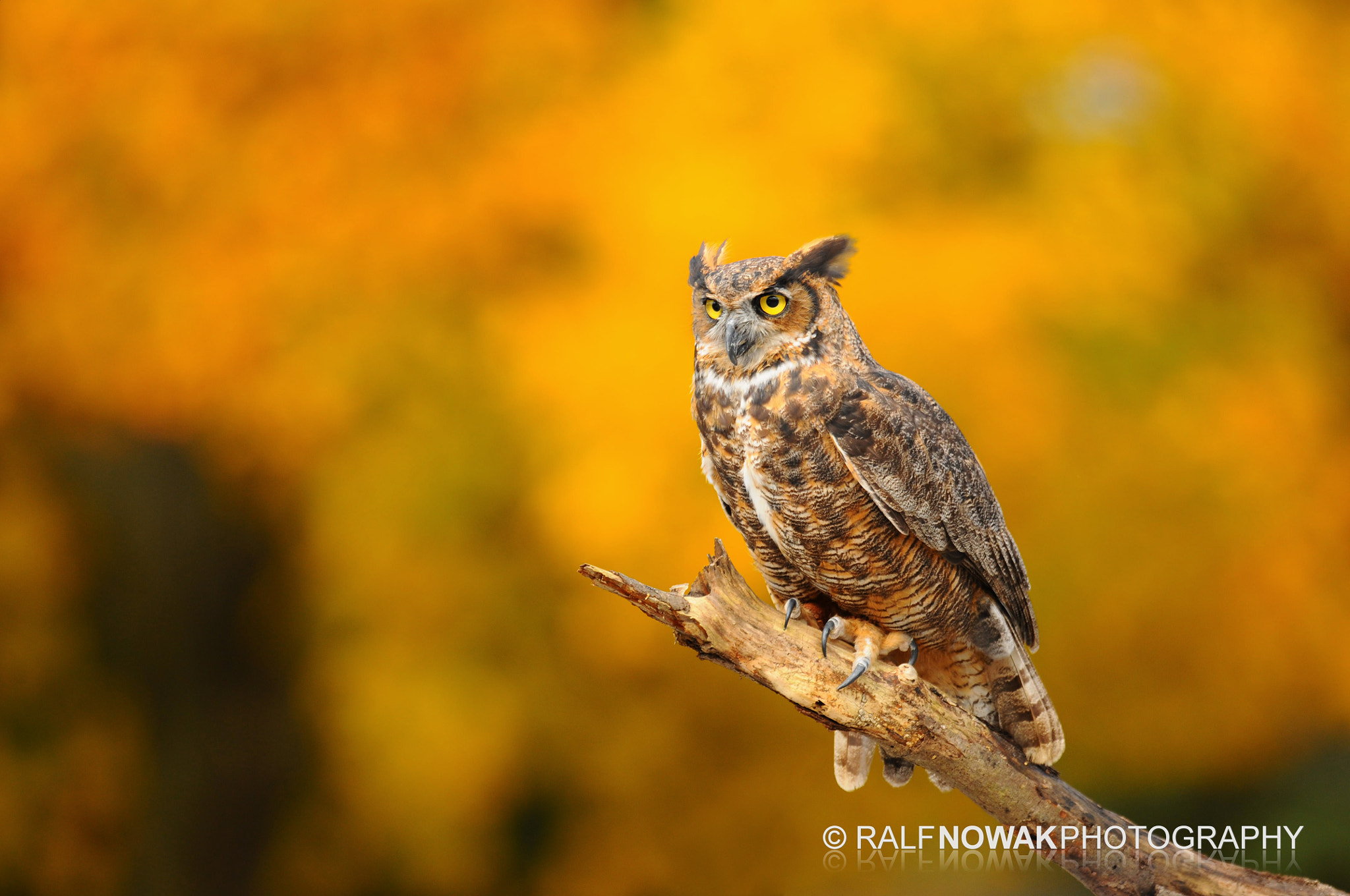 Photograph Great Horned Owl by Rafal Nowak on 500px