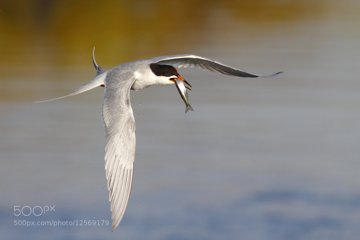 Photograph Another Tern Pic... by Salah Baazizi on 500px