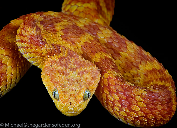 Photograph Atheris squamigera, Variable Bush Viper by Michael Kern on 500px