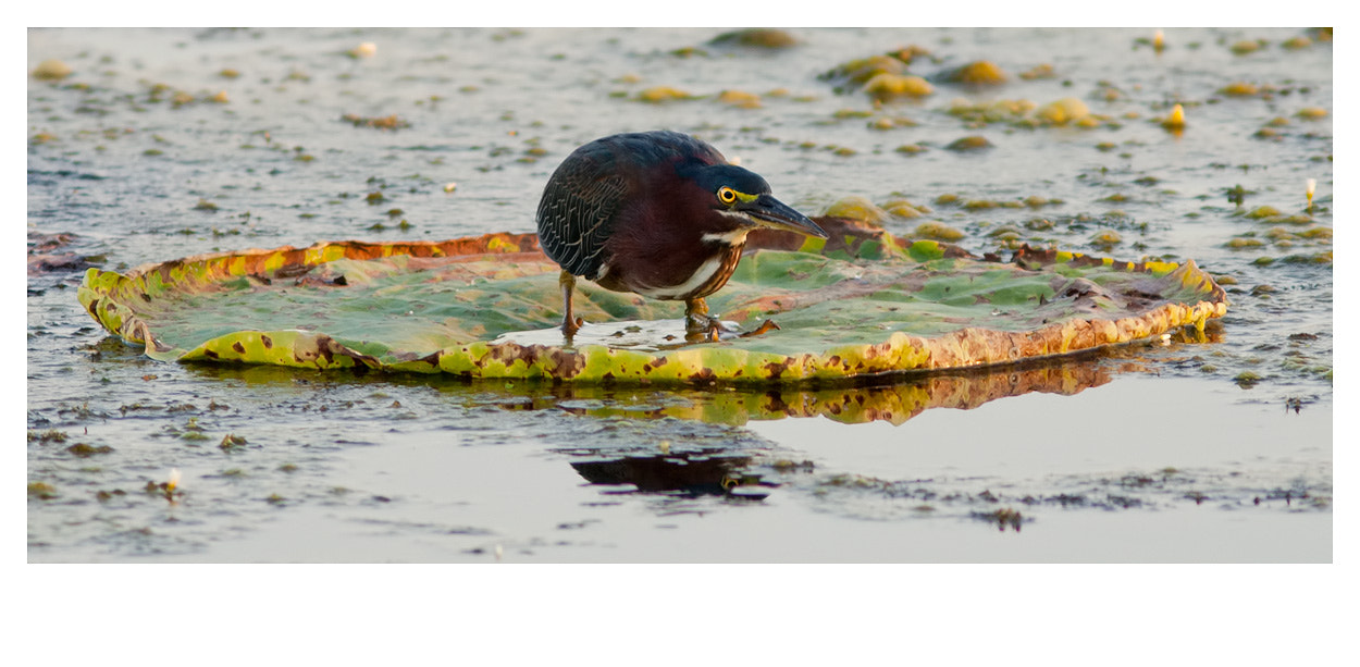 Photograph Green Heron  by Elizabeth  E. on 500px