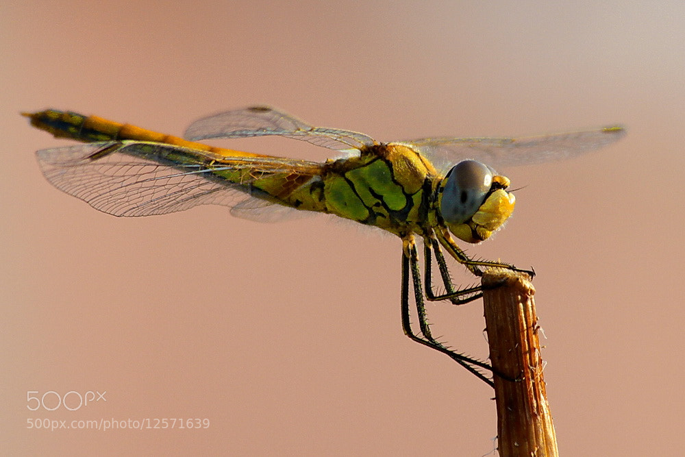 Photograph Anisoptera  / Dragonfly by Özer Çiner on 500px