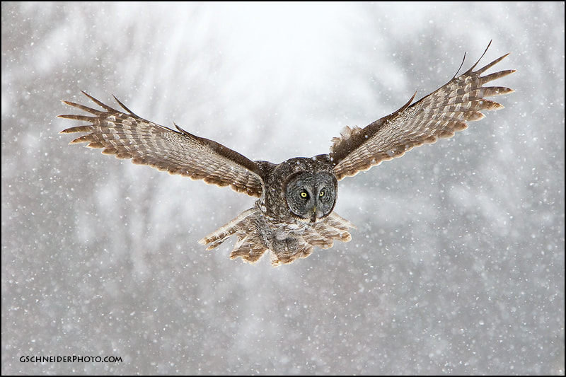 Photograph Great Gray Owl hunting in heavy snow by Greg Schneider on 500px
