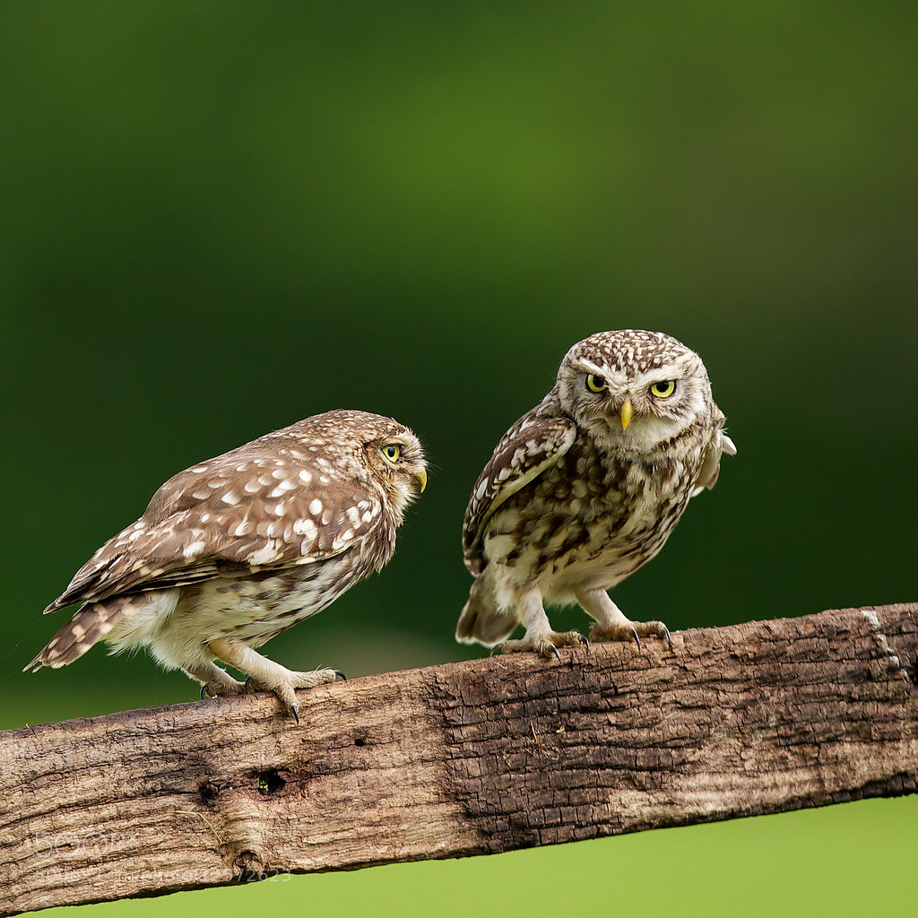 Photograph Mr & Mrs L. Owl by Mark Bridger on 500px
