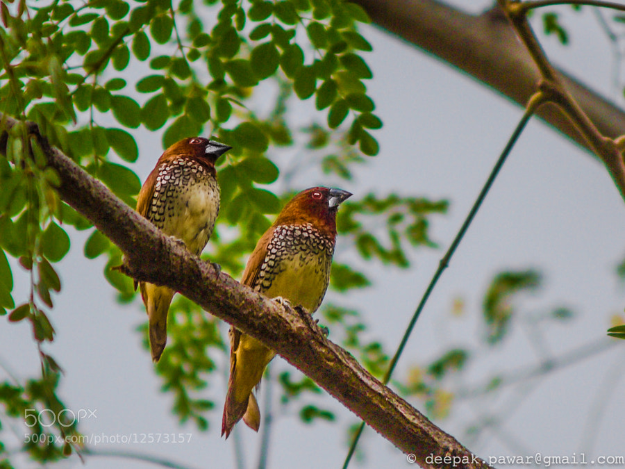 Photograph Scaly Breasted Munia (Couple) by Deepak Pawar on 500px