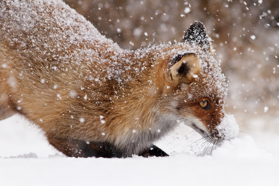 Photograph Fox' New Toy by Roeselien Raimond on 500px