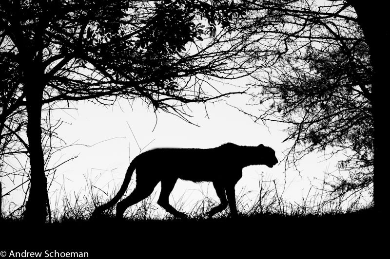 Photograph B+W Cheetah by Andrew Schoeman on 500px