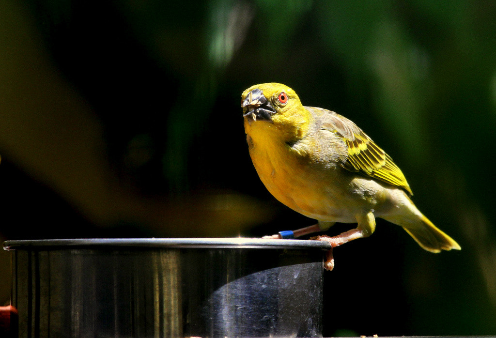Photograph Weaver bird sitting on a food bowl by Rainer Leiss on 500px
