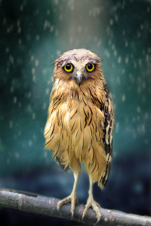 Wet Owl by Sham Jolimie on 500px.com