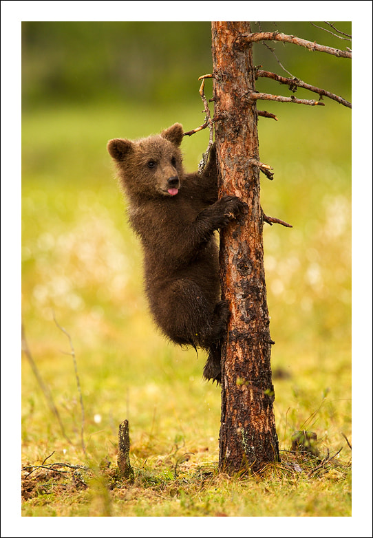 Photograph Bear faced cheek by Jules Cox on 500px