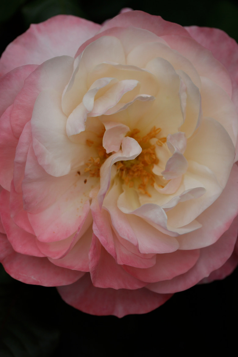 Photograph Pink and cream rose by Jean Allenet on 500px