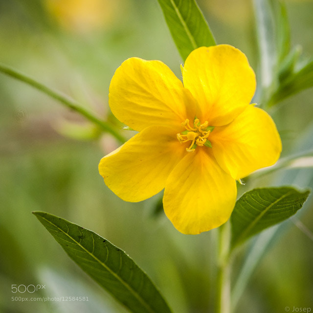Photograph Yellow flower on the lake. by Josep Girona on 500px