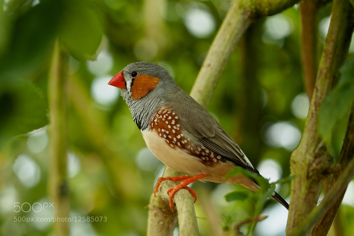Photograph Zebra Finch by John Purchase on 500px