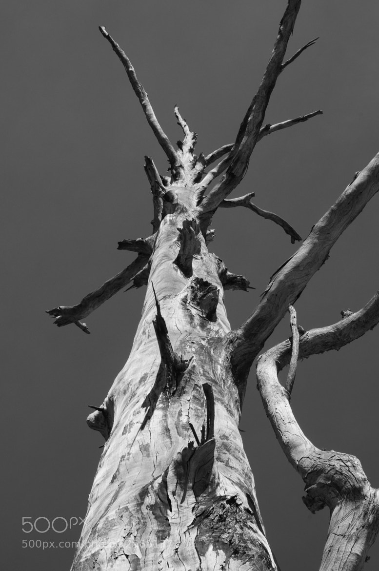 Photograph Tall Grey Tree by Crawford Taylor on 500px