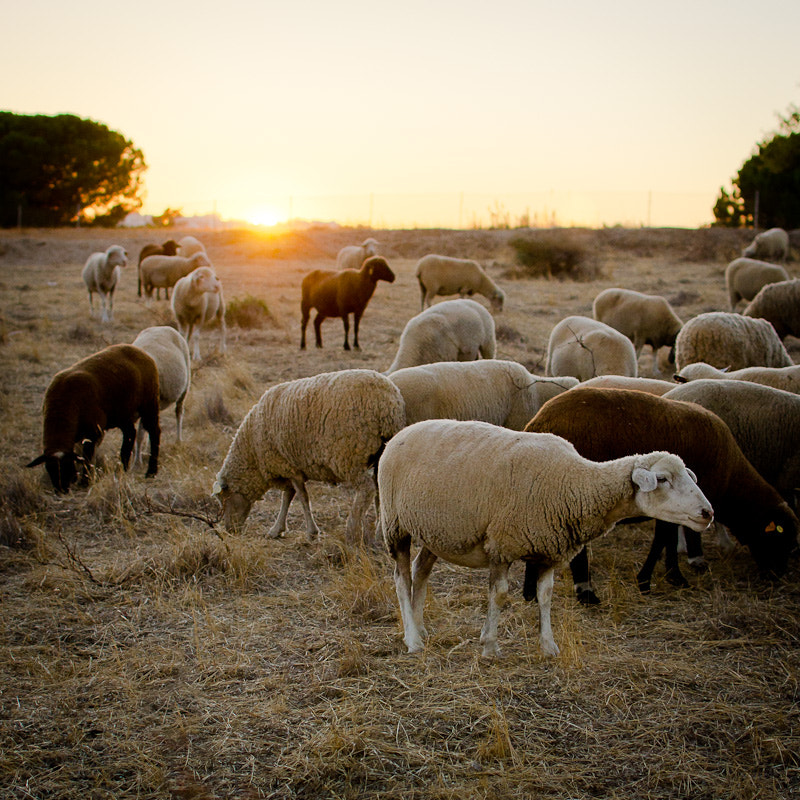 Photograph Sheep by Khoi Luong on 500px