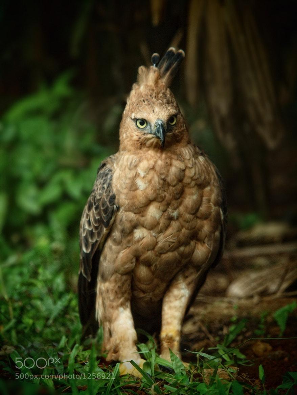 Photograph Javan Hawk Eagle by Irawan Subingar on 500px