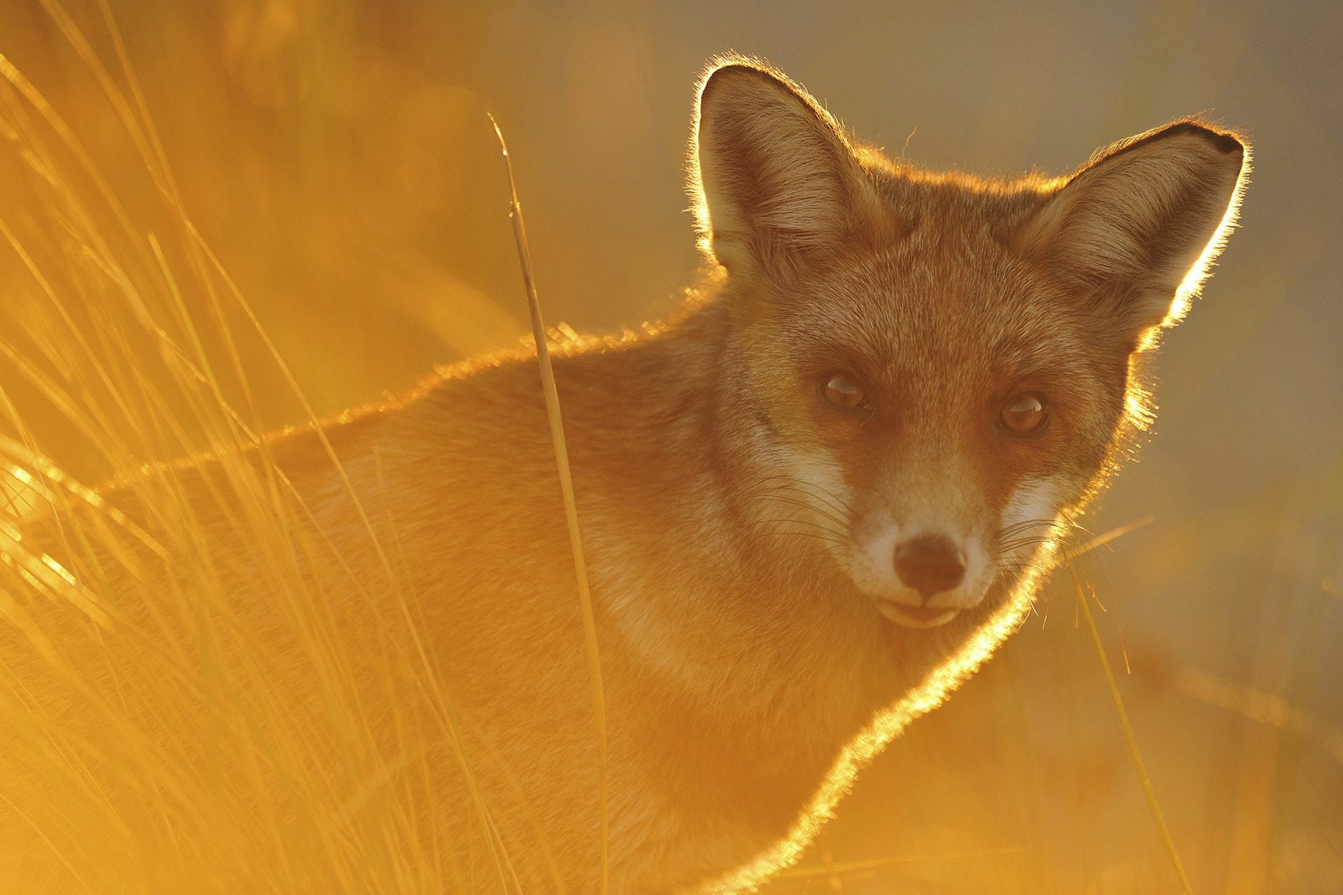 Photograph Golden hour fox by Yves Adams on 500px