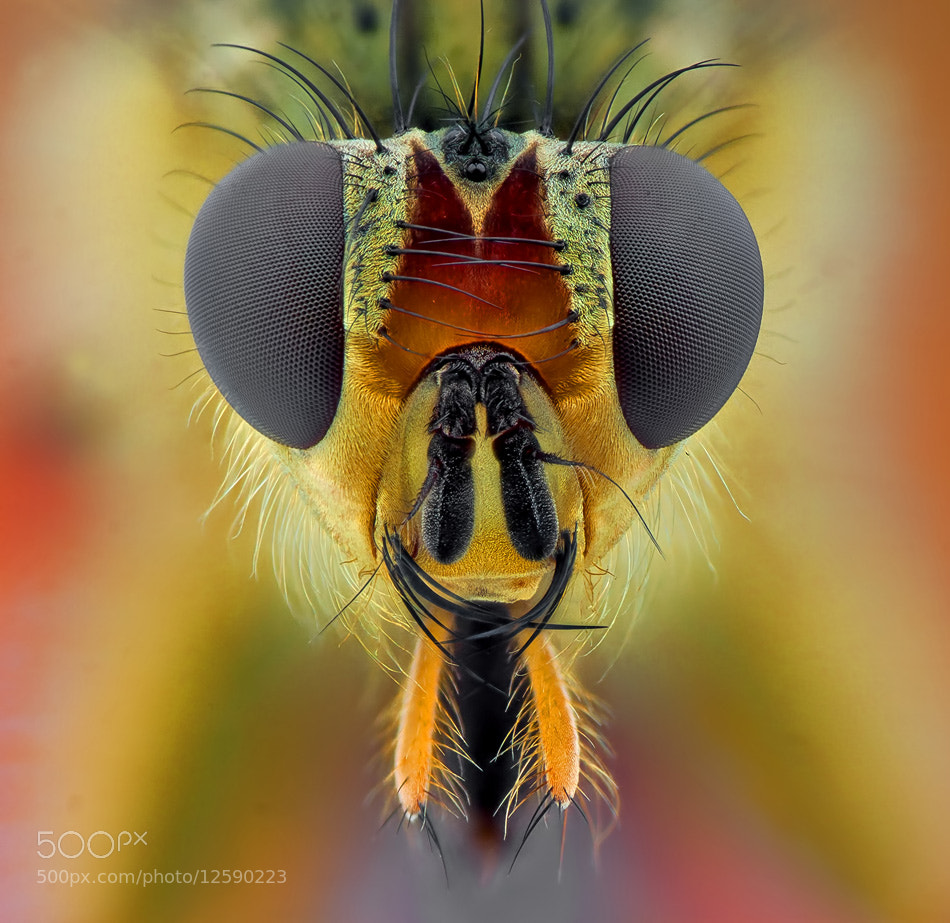 Photograph Handsome fly by Omid Golzar on 500px