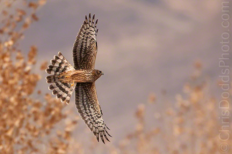 Photograph Northern Harrier by Christopher Dodds on 500px