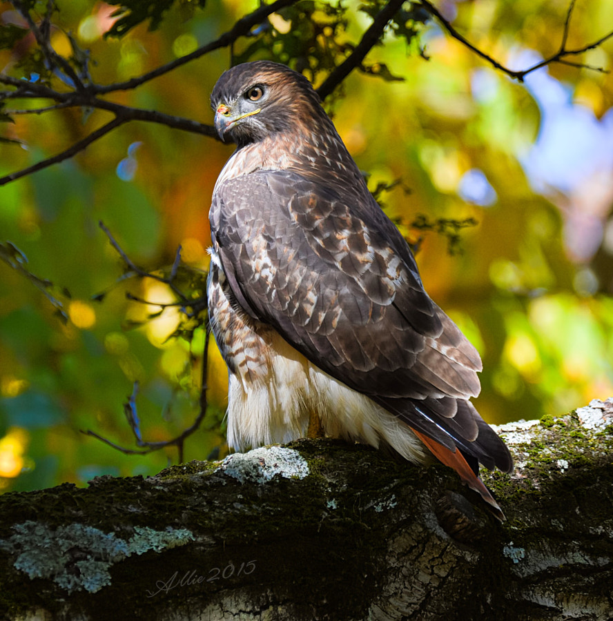 Red Tailed Hawk, Swan Point Cemetery, Providence, Rhode Island by Allie Knowles on 500px.com