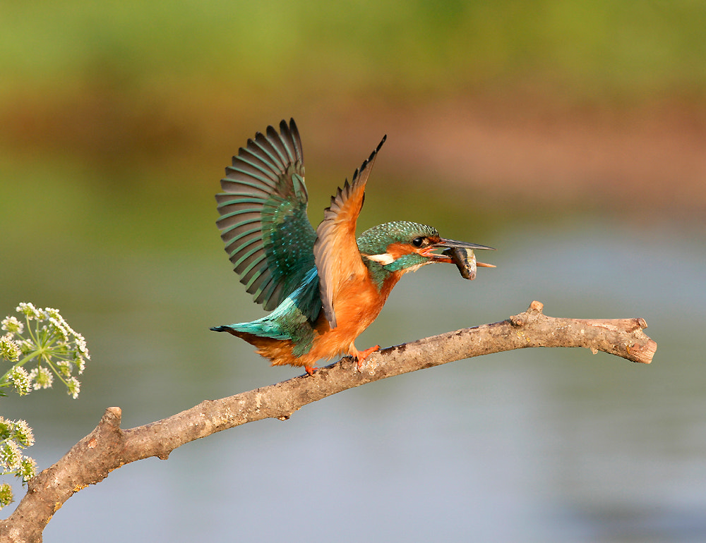 Photograph Kingfisher  by Kevin  Keatley on 500px