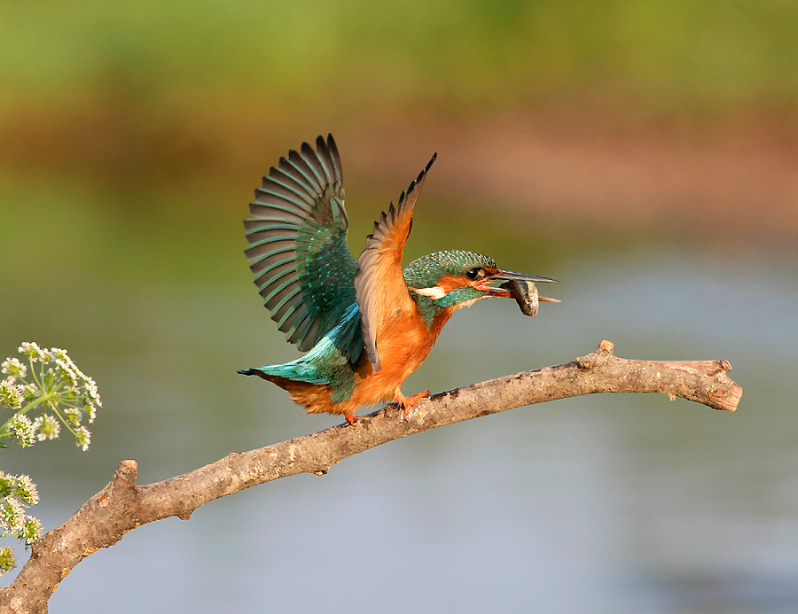 Kingfisher with wings open just after catching fish ( Alcedo atthis )