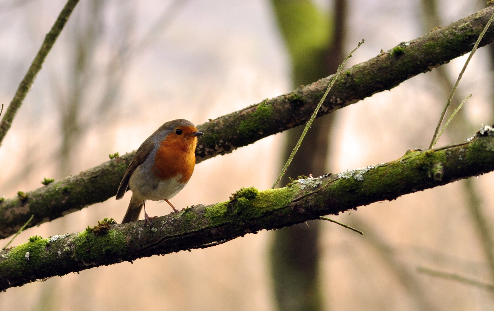 Photograph Branching out - Robin by Ciaran Kealy on 500px