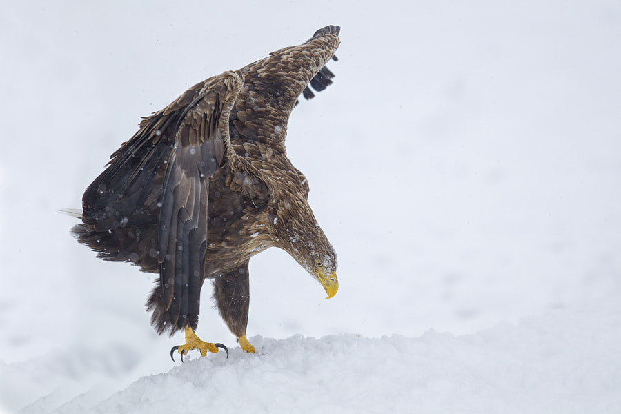 Photograph White tailed sea eagle by Peter Edge on 500px