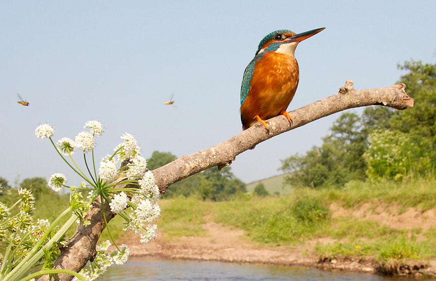 Kingfisher - Adult female on a Devon river