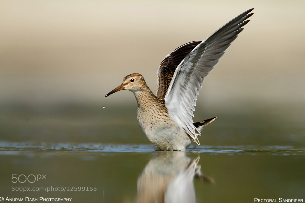 Photograph Pectoral Sandpiper!! by Anupam Dash on 500px