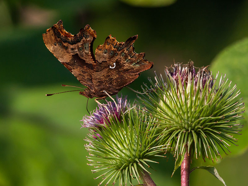 Photograph coma butterfly by dave blackwell on 500px