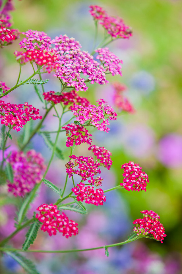 Photograph Yarrow by Richard Loader on 500px