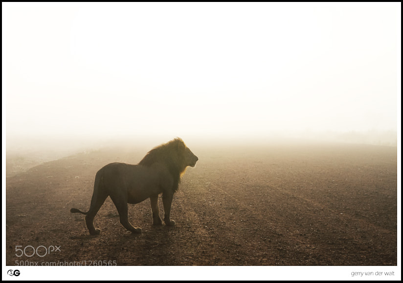 Photograph Misty Lion by Gerry Van der Walt on 500px