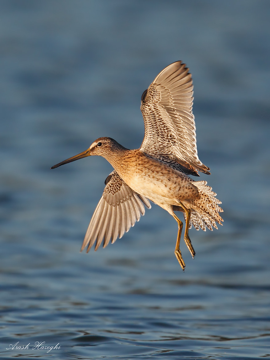 Photograph dowitcher by Ari Hazeghi on 500px