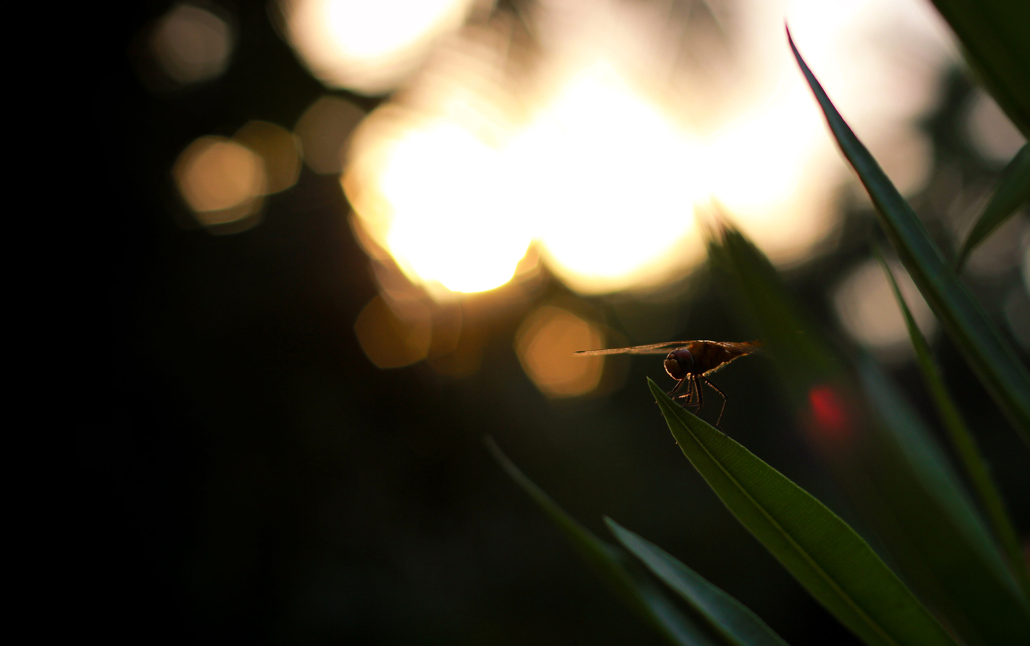 Photograph Dragonfly and sunset by Kannan Gopalakrishnan on 500px