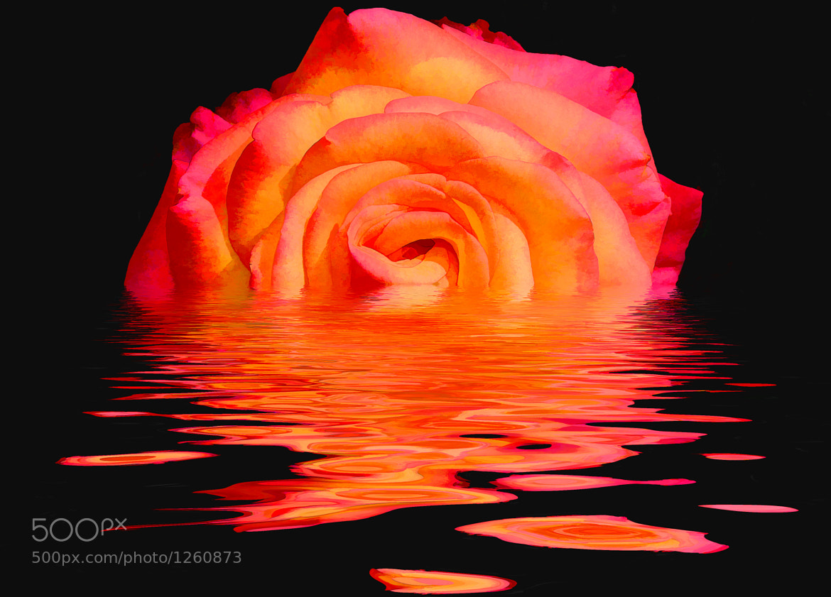 Photograph Melting Rose by Jeff Clow on 500px