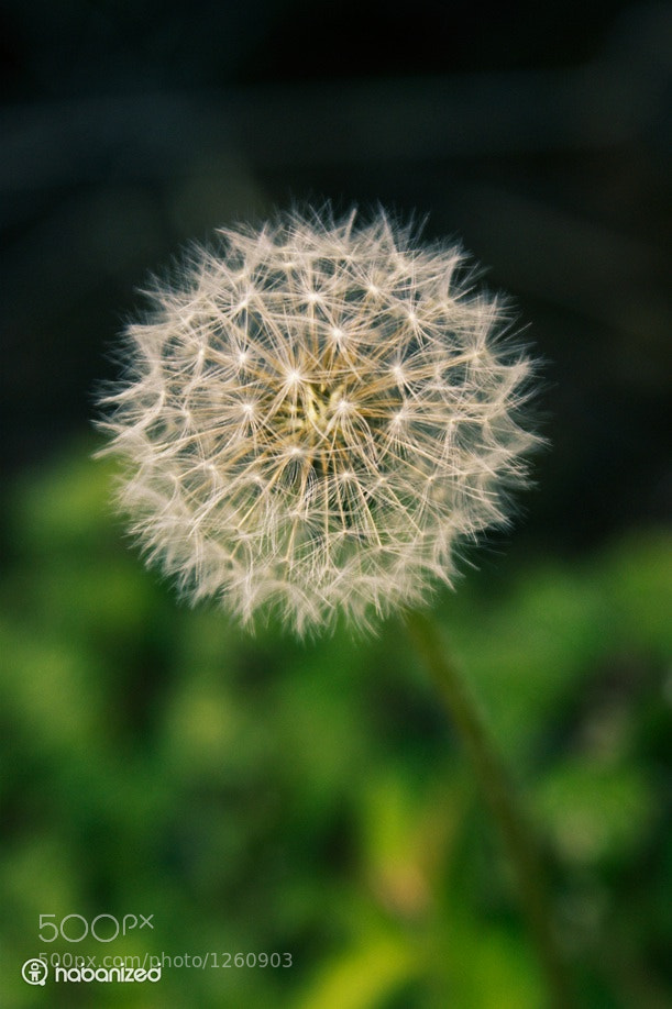 Photograph Dandelion by Eugene W on 500px